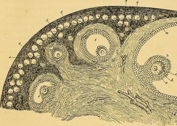 Мышам удвоили запас яйцеклеток в яичнике
