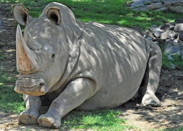 Получен третий жизнеспособный эмбрион северного белого носорога