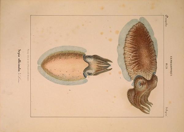 Ожидающие вкусного ужина каракатицы не стали объедаться в обед