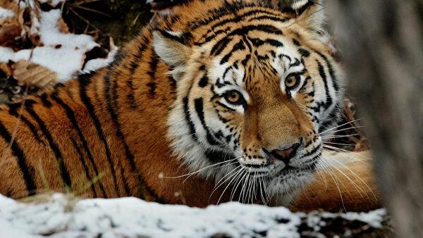 """В ЕАО ученые исследуют тигров для создания """"коридора"""" в Китай"""