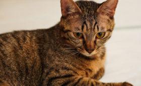 Бельгийская кошка подхватила коронавирус