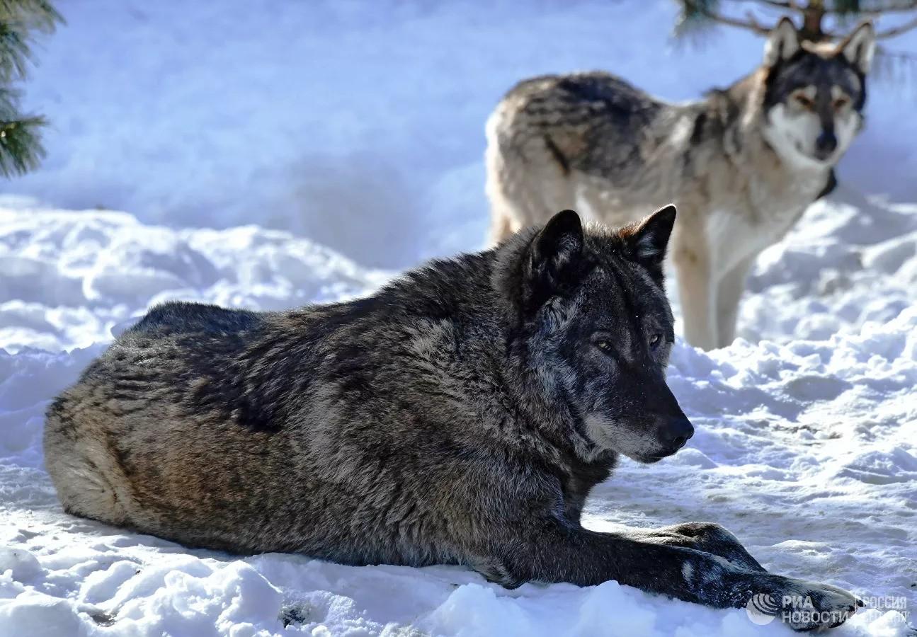 В России создан первый приют для волков