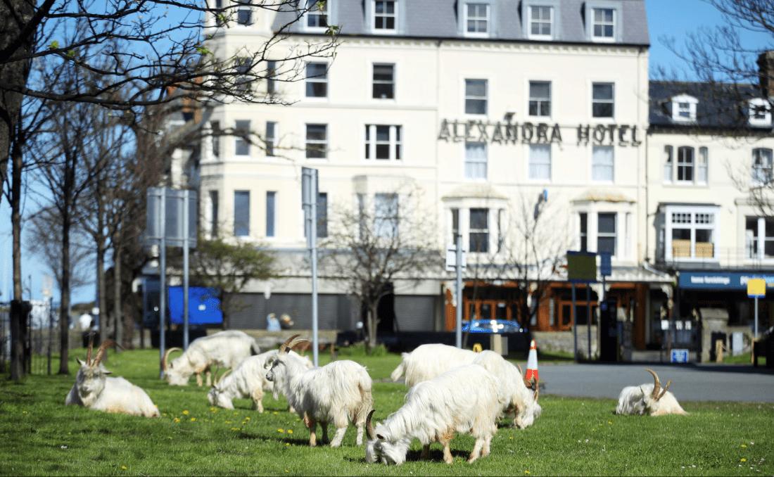 Дикие козы «захватили» город на севере Уэльса. Фото