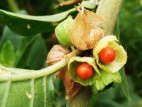 Что такое ашваганда и чем она полезна