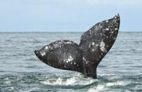 В Тихом океане от голода погибают серые киты